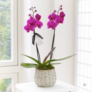 Divine Twin Stemmed Orchid