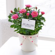 Get Well Rose Plant