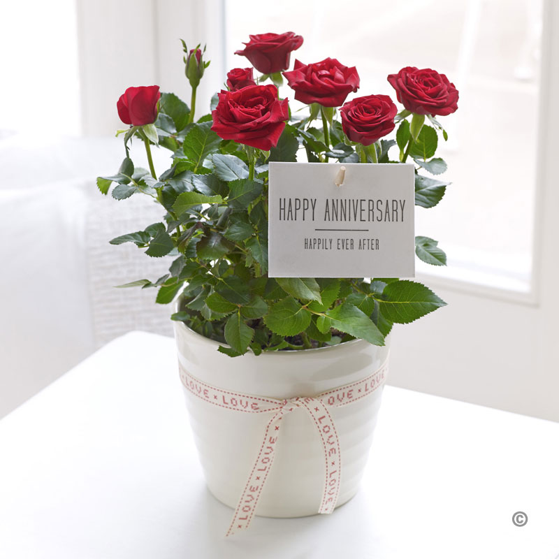 happy anniversary rose plant sweeneys florist